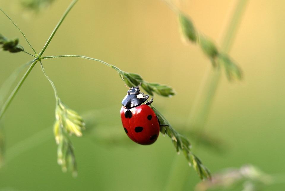 Free photo: Ladybug, Beetle, Coccinellidae - Free Image on Pixabay - 1480106