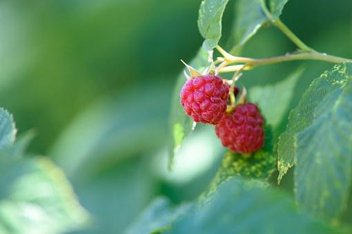 Raspberry Garden, Garden, Fruit, Lean