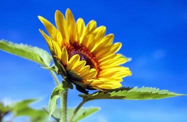 ひまわり, 花, 植物, 花びら, 黄色の花, ブルーム, 夏, 庭, 自然