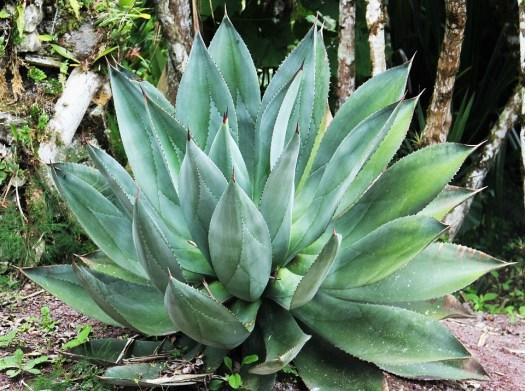 Gigante Aloe Vera, Foglie, Foglie Carnose, Esotici