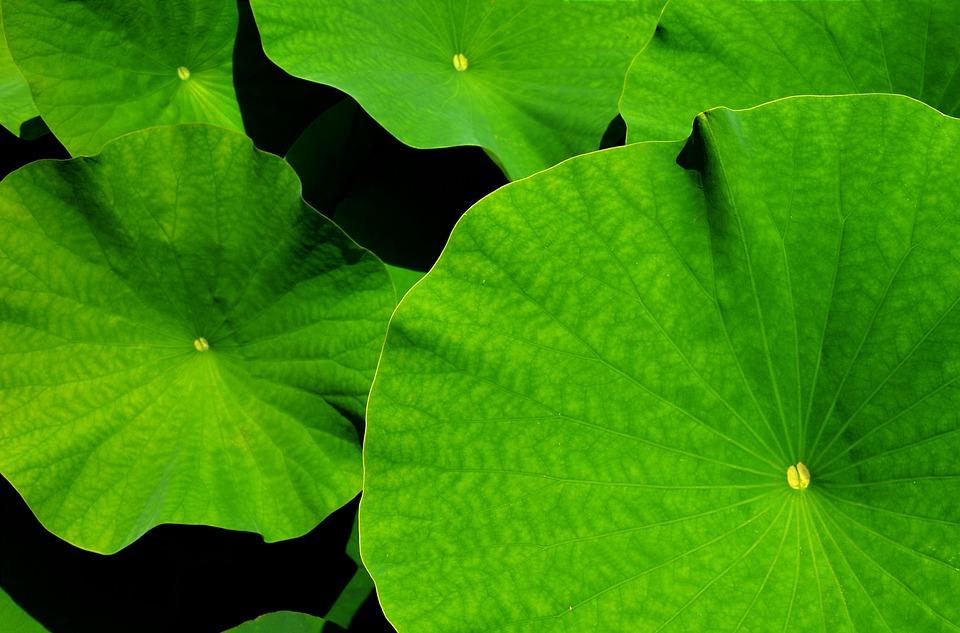 Computer Wallpaper Fall Leaves Free Photo Giant Leaf Lotus Lotus Leaf Free Image On