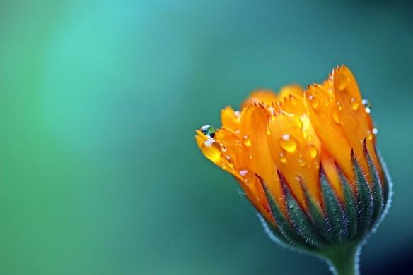 マリーゴールド, キンセンカ, オレンジ, 花, 芽を開いています。, ガーデニング, 複合, 雨滴