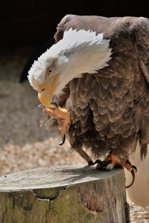 Eagle Talon Bird : eagle, talon, Eagle, Talon, Photo, Pixabay
