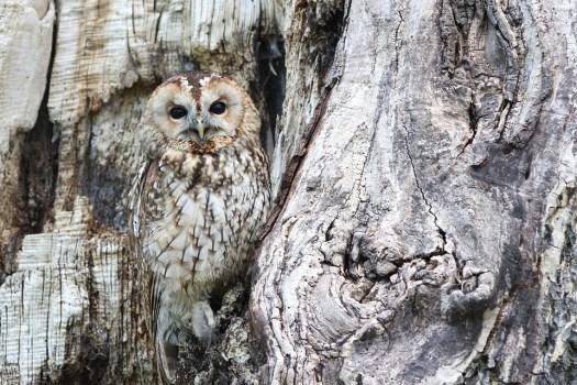 Gufo, Mimetica, Natura, Uccello Rapace, Predator