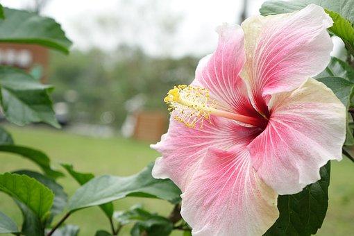 Hibiscus, Naturel, Rose, Poudre, Blanc