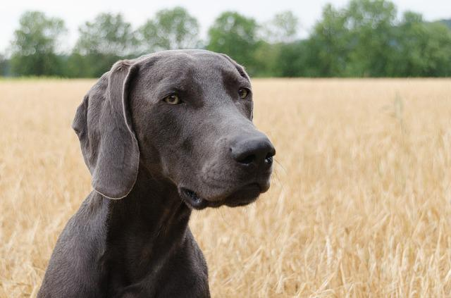 Dog Weimaraner Head  Free photo on Pixabay