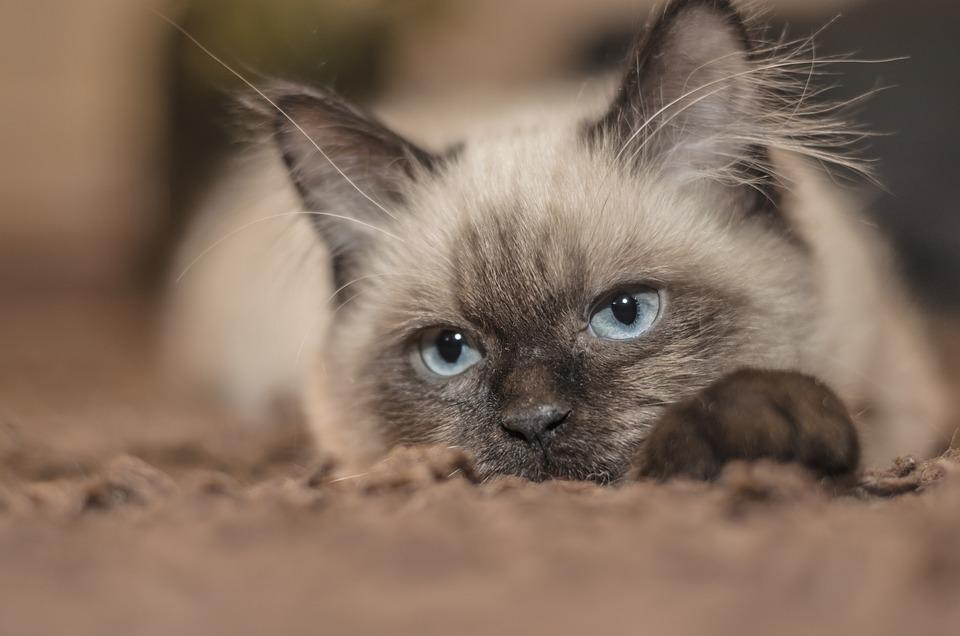 Cute Siamese Kittens Wallpaper Free Photo Cat Kitten Pets Tom Cat Animal Free