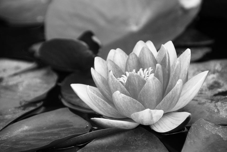 water lily black and