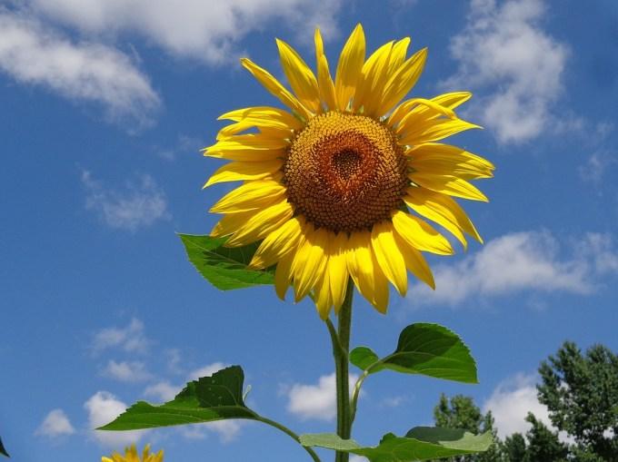 ひまわり, 花, 夏