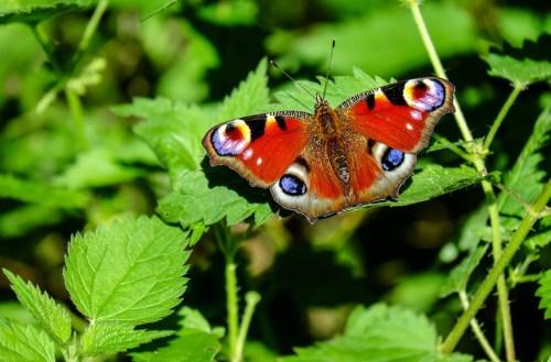 Paon Du Jour, Papillon, Insectes, Coloré, Nature