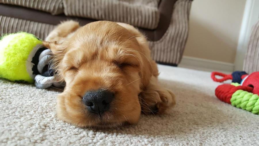 Dog, Golden, Sleep, Cute, Puppy