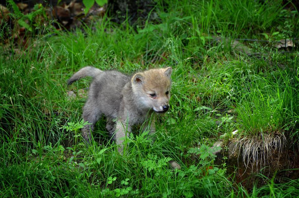 Free Photo Carnivore Timber Wolf Nature Free Image