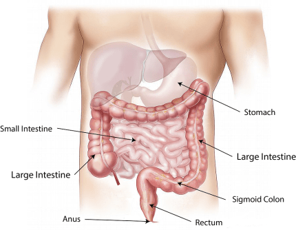 anatomy of stomach, intestines, colon, colorectal cancer prevention