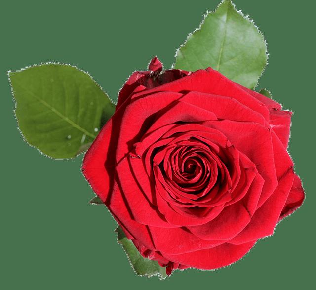 Rose Isolated Blossom  Free photo on Pixabay
