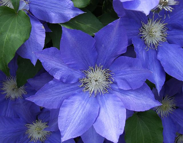 Free photo Flower Clematis Blue Flora  Free Image on Pixabay  1722392
