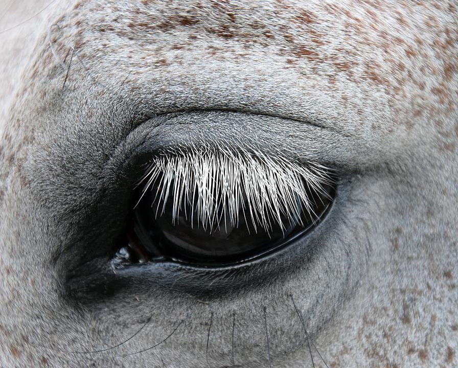 Kostenloses Foto Schimmel Pferd Auge Sanft