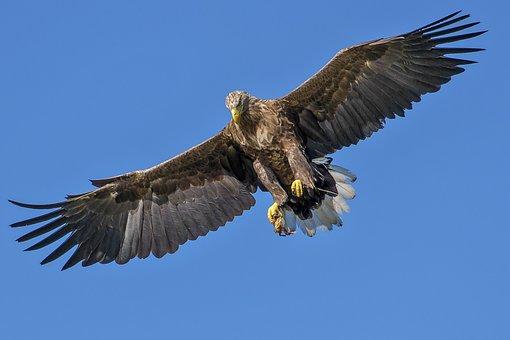 Eagle, Bird, Bird Of Prey, Natural