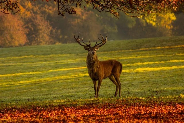 Fall Live Wallpaper Stag Nature Deer 183 Free Photo On Pixabay