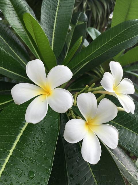 Plumeria Champa Floral 183 Free Photo On Pixabay