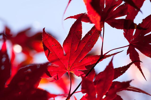 Fall Colored Background Wallpaper Free Photo Maple Autumn Leaf Red Leaves Free Image