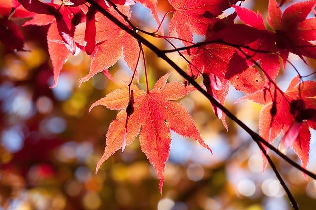 Free Fall Desktop Wallpaper Backgrounds Foto Gratis Acero Autunno Foglia Rosso Immagine
