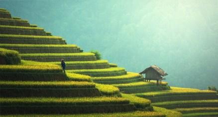 Agricultura, La Plantación De Arroz, Tailandia, Arroz