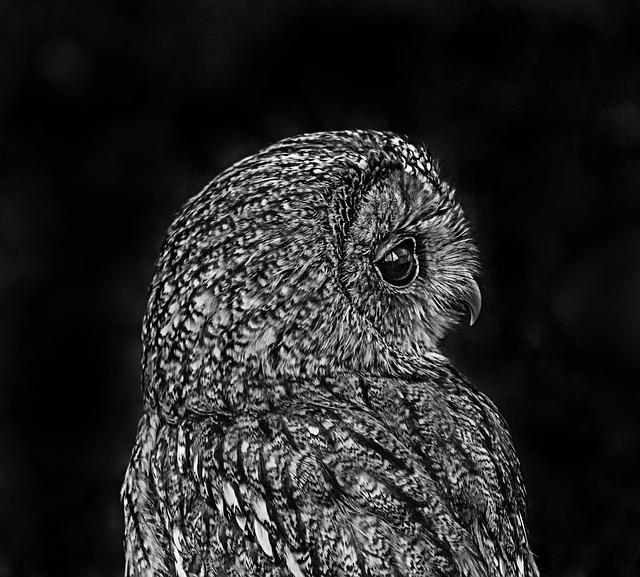 Dark Black Wallpaper Hd Owl Black White 183 Free Photo On Pixabay