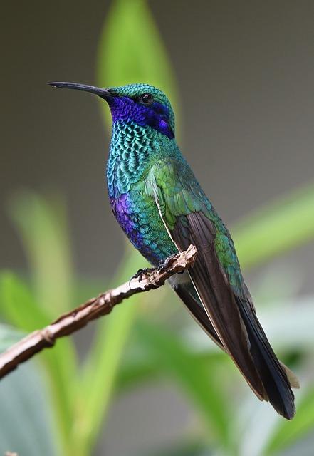 Kostenloses Foto Kolibri Vogel Natur Tropisch