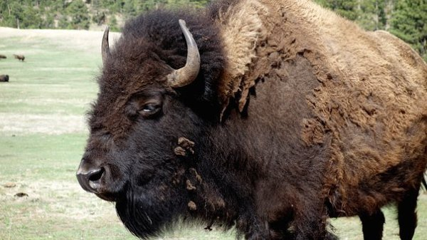 Bison Free images on Pixabay