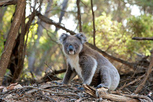 200 free koala australia