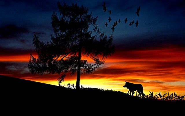 Vector Girl Wallpaper Hd Wolf Animal Sunset 183 Free Photo On Pixabay
