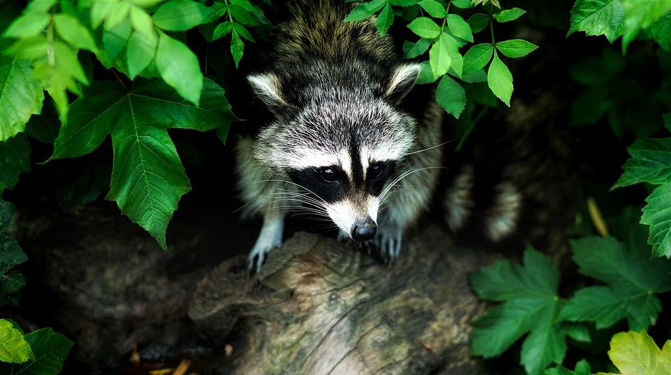 Raccoon, Animal, Wildlife, Nature, Outdoors, Leaves