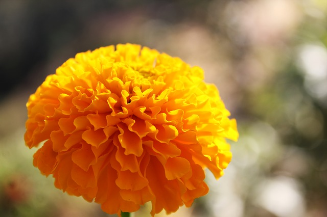 Marigold Flower Gold  Free photo on Pixabay