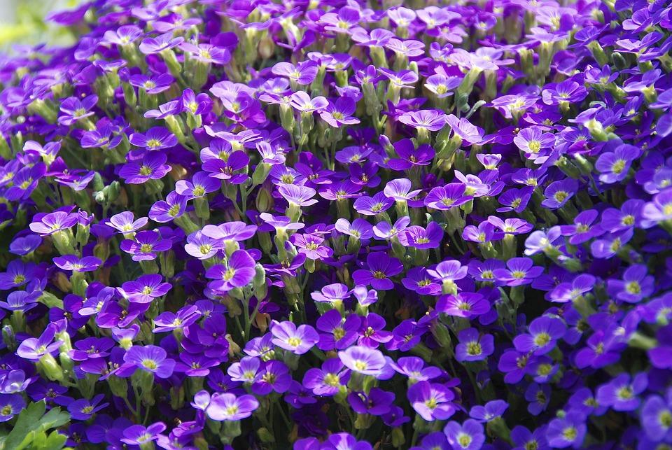 Tanaman Viola Violet  Foto gratis di Pixabay