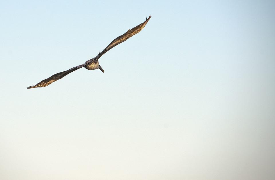 flying bird birds free