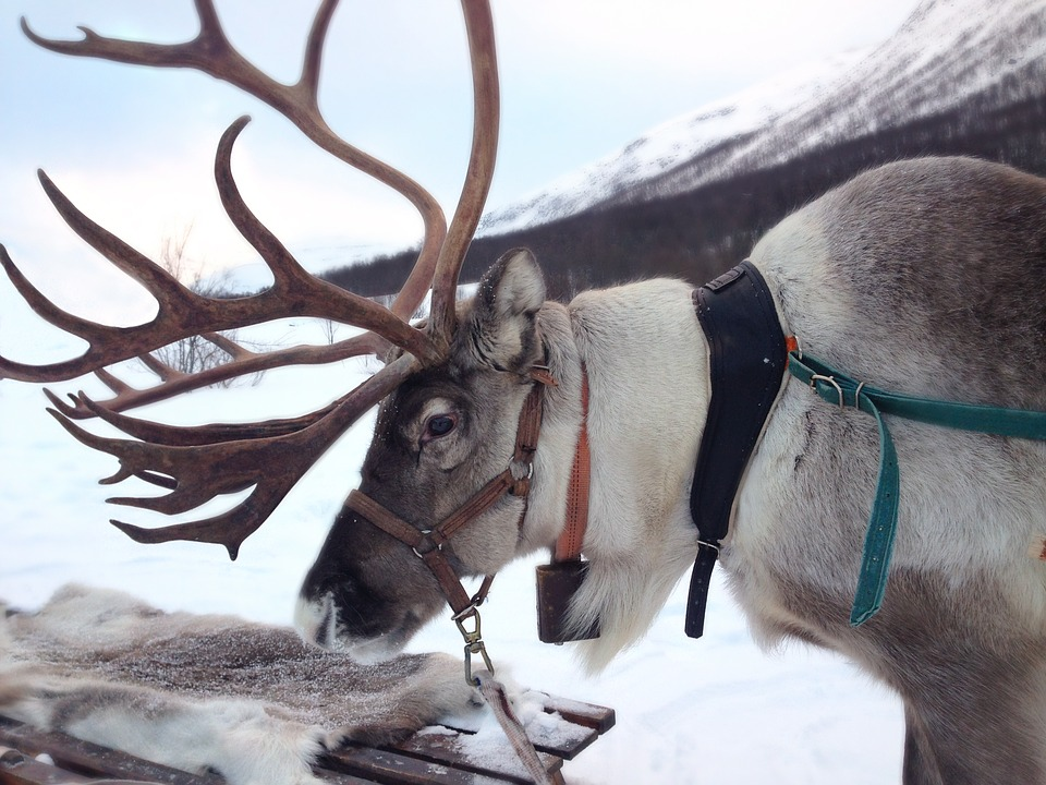 Renna, Norvegia, Neve, Sami Di Inari, Mammifero, Alce