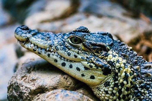 900 free crocodile alligator