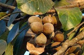 Fruit, Nut, Terminalia Bellirica, Bahera