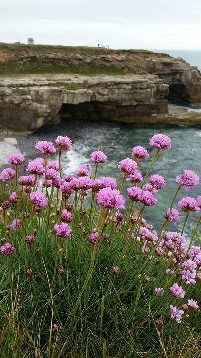 Морски Розово, Скален Връх, Море, Скали, Цвете