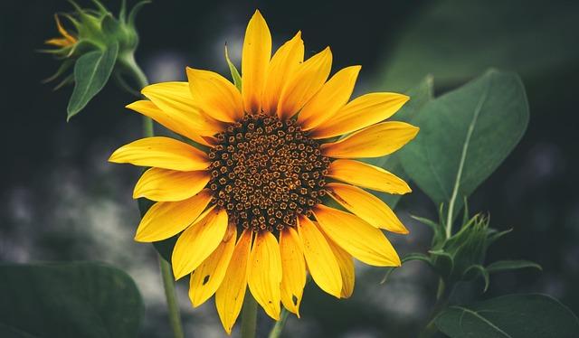 Free Fall Animal Wallpaper Sunflower Balboa Park Closeup 183 Free Photo On Pixabay