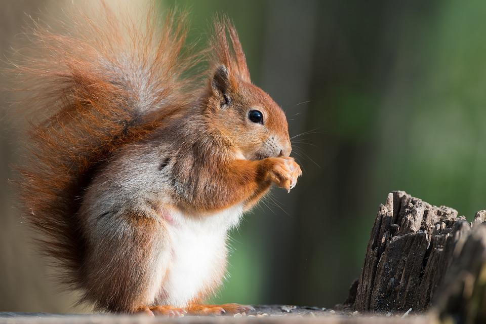 squirrel animal possierlich free