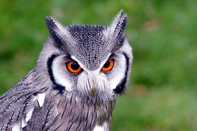 Free Photo Southern White Faced Owl Birds Free Image