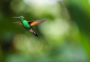 Colibri Bird Trochilidae Mouche Robe De Pr