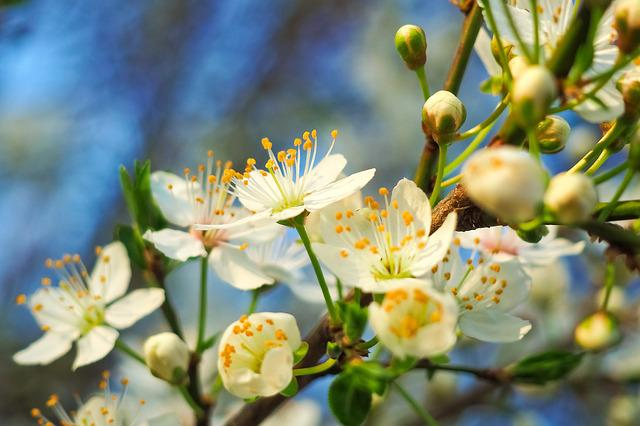 Beautiful Leaf Hd Wallpaper Free Photo Sour Cherry Tree Nature Summer Free Image