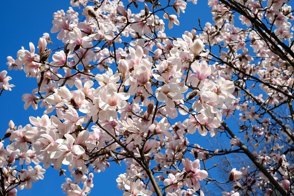 Fall Facebook Wallpaper Tulip Magnolia Tree Bush 183 Free Photo On Pixabay