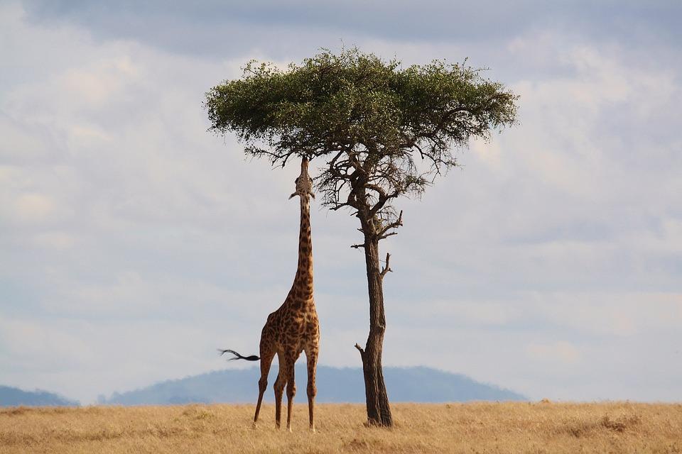 Giraffa, Kenya, Africa, Natura, Safari, Collo, Alto