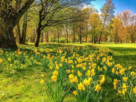 Daffodils, Osterglocken, Park, Spring