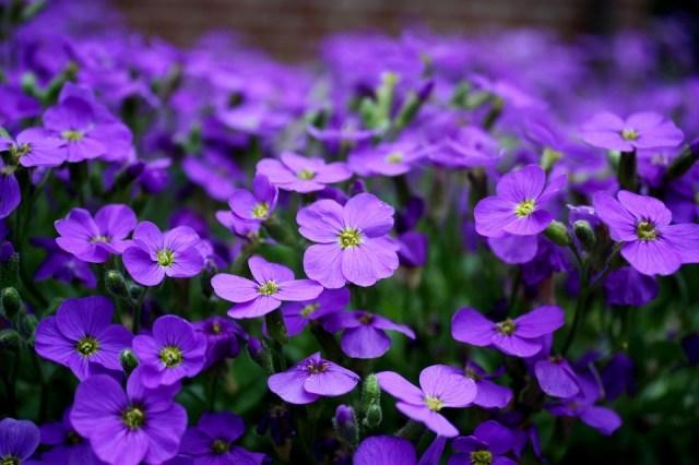 Flores, Púrpura, Cubrir El Suelo, Cerrar, Flor Morada, Colores Morados