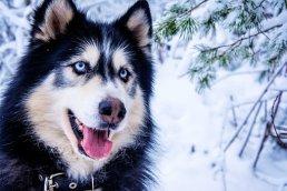 Husky, Snow Dog, Sled Dog, Animal, Fur