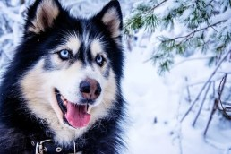 Husky, Snow Dog, Sled Dog, Animal, Fur